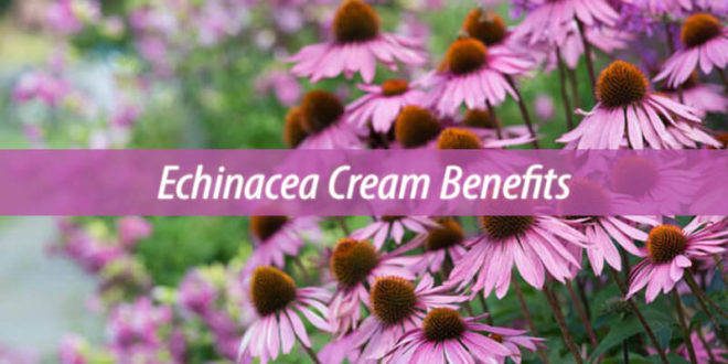 echinacea cream benefits