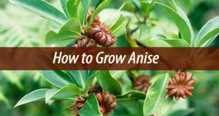 how to grow anise