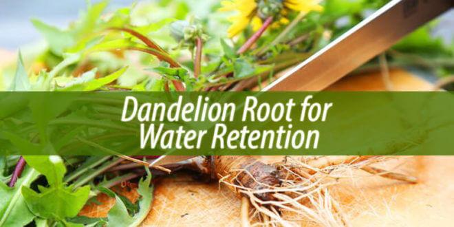 Dandelion Root for Water Retention