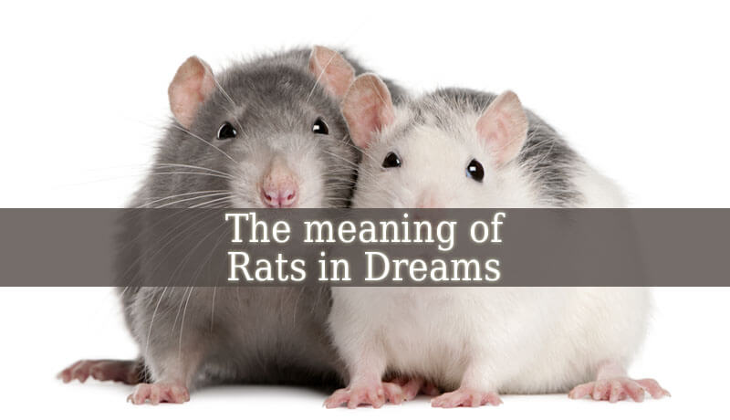 Dreaming About Rats Dream Of Rats Meaning Spiritual Experience