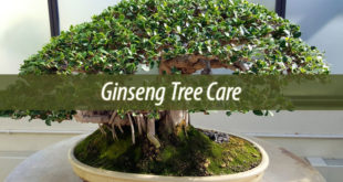 Ginseng Tree Care