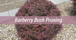 barberry bush pruning