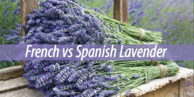 french vs spanish lavender