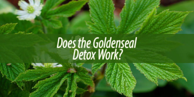 Does the Goldenseal Detox Work